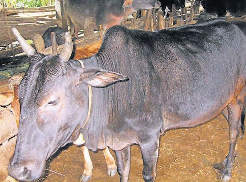 Muslim youth rescues cow