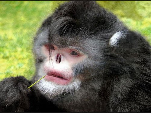 Sneezing monkey among 200 new species discovered in Himalayas
