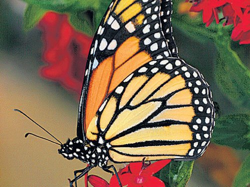 Over 50 species of butterflies spotted in Pange Valley