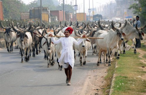 Beef ban issue hits Rs 2,500cr cow breeding business in Punjab