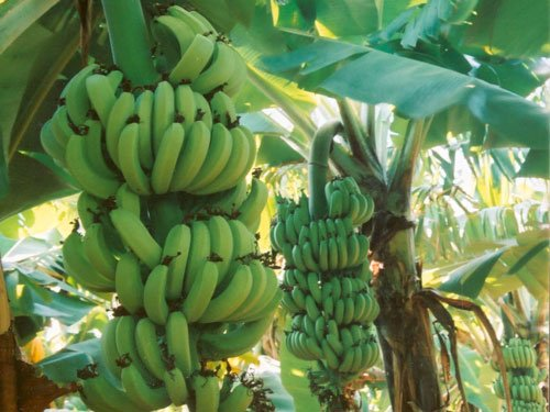Drug engineered from bananas could fight AIDS