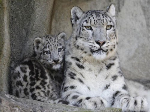 WWF calls for urgent action to protect snow leopards