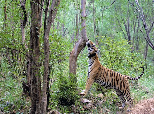 Three wild tigers on the prowl on Bhopal outskirts