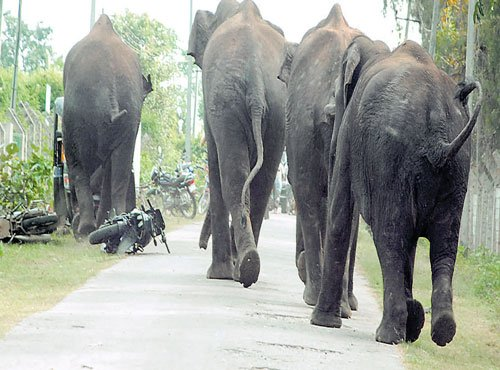 Elephants driven into forest resurface