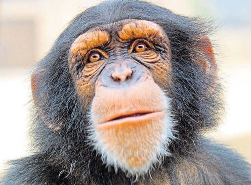 'Preserving' brains of retired apes