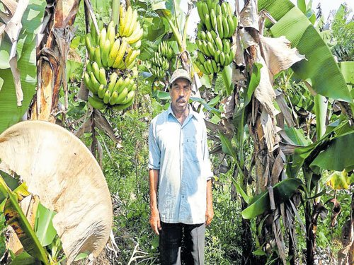 Farmers worried over crash in banana prices