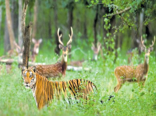 Tiger tourism is burning bright
