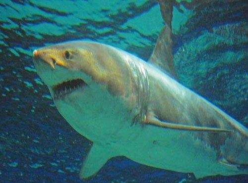 Great white 'Jaws' shark dies after days in Japan aquarium