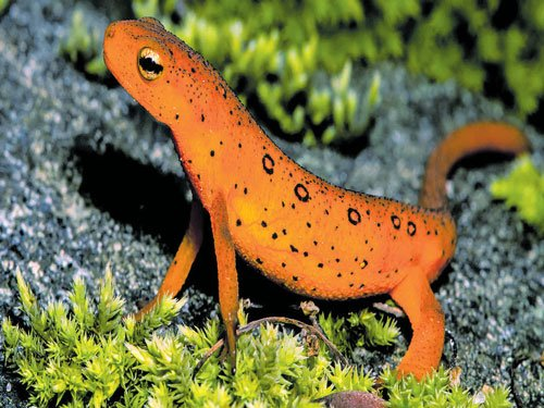 A reprieve for fungus-battered amphibians