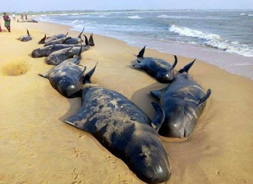 Nearly 100 whales washed ashore in Tamil Nadu