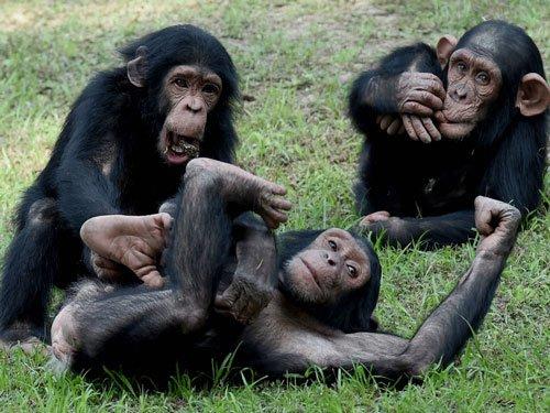 Chimps, like humans, make friends based on trust: study