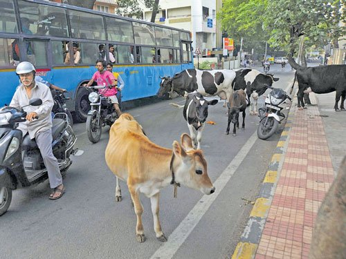 As straying, napping cattle dictate traffic