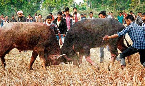 Assam village holds buffalo fight