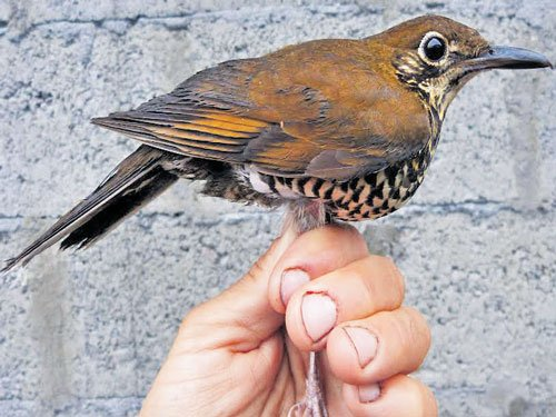 New bird species identified from its song, named after Salim Ali