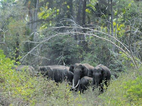Elephant herd triggers scare in Hunsur again