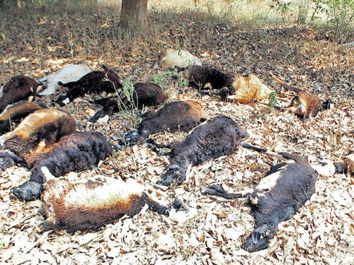 25 sheep dead after grazing on crops sprayed with pesticides