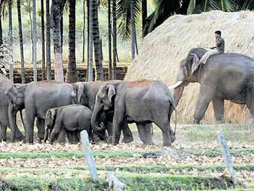 Jumbo herd heads back to forest