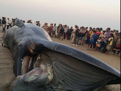 30-foot-long whale washed ashore in Mumbai