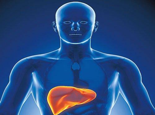 Liver tissue for transplants, drug screening developed