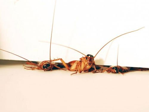 Snug as a bug: The hated cockroach inspires a helpful robot