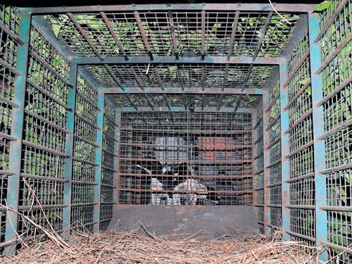 Cage kept behind school to capture straying leopard