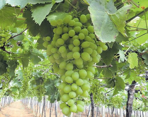 Poor harvest but sweeter fruit  this grape season, say officials