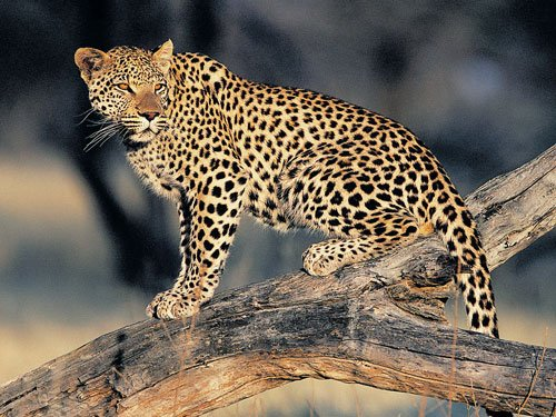 Injuries, deaths by leopards accidental