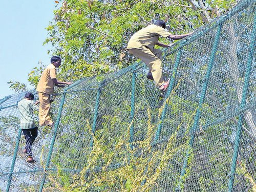 Captured leopard escapes from BBP