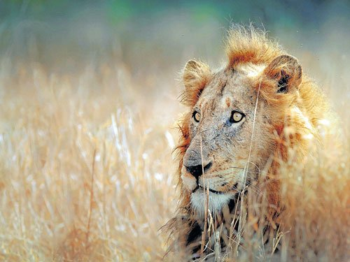 Country's oldest lion may undergo age test