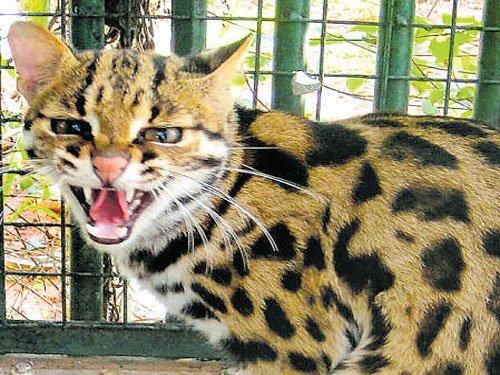 Leopard cat rescued from C'magaluru coffee estate