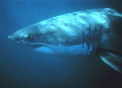 Sharks too may be social animals: study