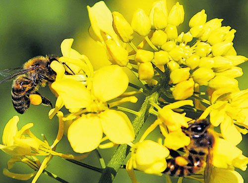 Vital to food output, bees and other pollinators at risk