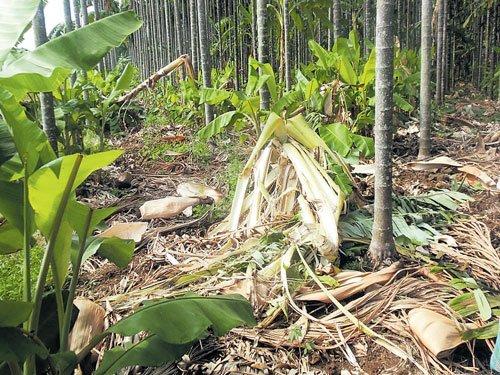 Wild elephants destroy banana, areca crops in Tarikere