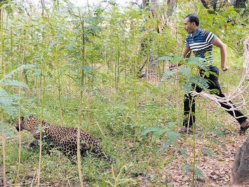 More than one wild tiger roams BNP, confirm officials