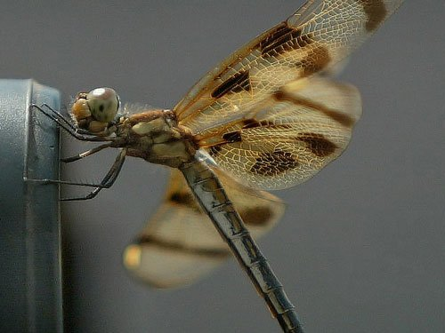 Tiny dragonfly may be world's longest-distance flier