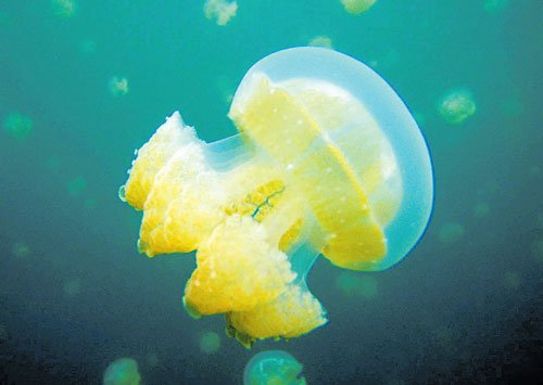 Up, close and personal: Capturing the jellyfish on cam, stings and all