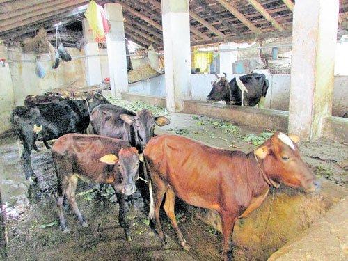 Man rears cows despite odds, reaps multiple benefits