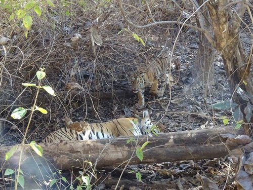 Tigress, two cubs found dead in Pench Tiger Reserve