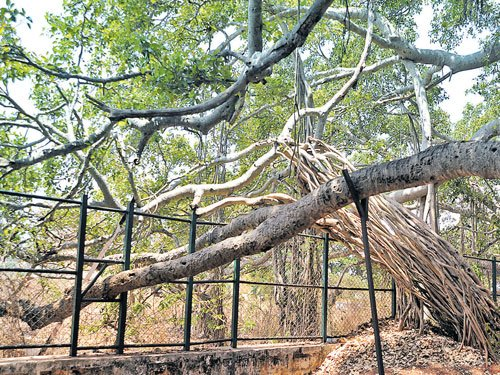 Iconic Big Banyan Tree under threat