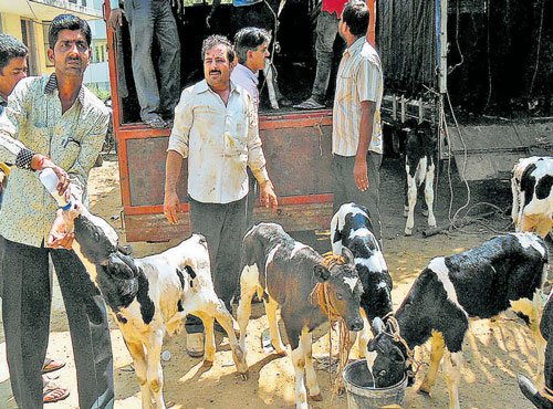 14 calves die, 115 cattle rescued in Channarayapatna