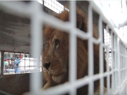 33 rescued lions arrive in South Africa in biggest airlift