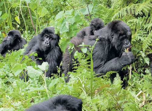 A secure future for the gorillas