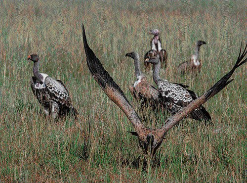 Loss of vultures damaging for humans, ecosystem: study