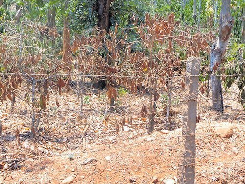 Lack of rains hits coffee plantations in Tarikere
