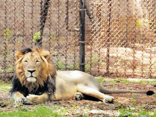 Asiatic lion suffering from liver, kidney ailments at zoo