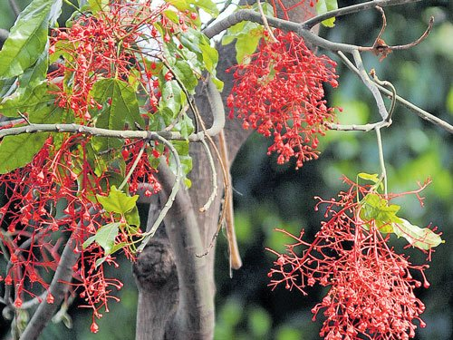 Tree native to Oz blooms
