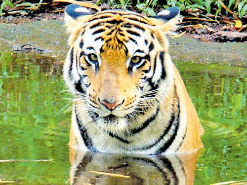 World tiger population up 22%, says ZSI Director
