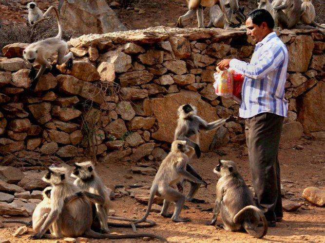 Feeding monkeys may harm their health: study