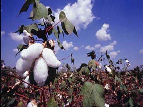Govt withdraws notification on Bt cotton, to seek public views