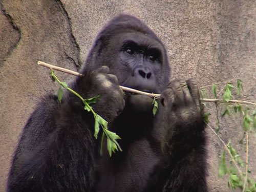 Ohio zoo closes gorilla exhibit for now after boy falls in